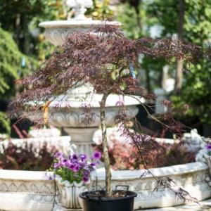 Acer palmatum Dissectum, Pret 450 lei