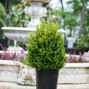 Buxus sempervirens, Pret 85 lei