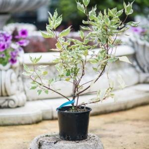 Cornus alba Elegantissima, pret 30 lei