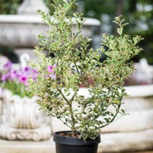 Ilex aquifolium Variegatum, pret 95 lei
