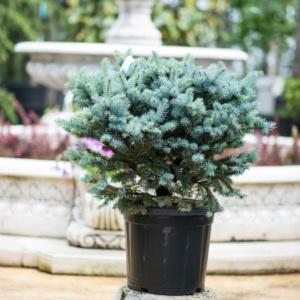 Picea pungens Globosa, pret 320 lei