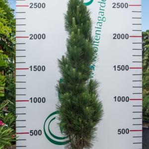 Pinus, pret 850 lei