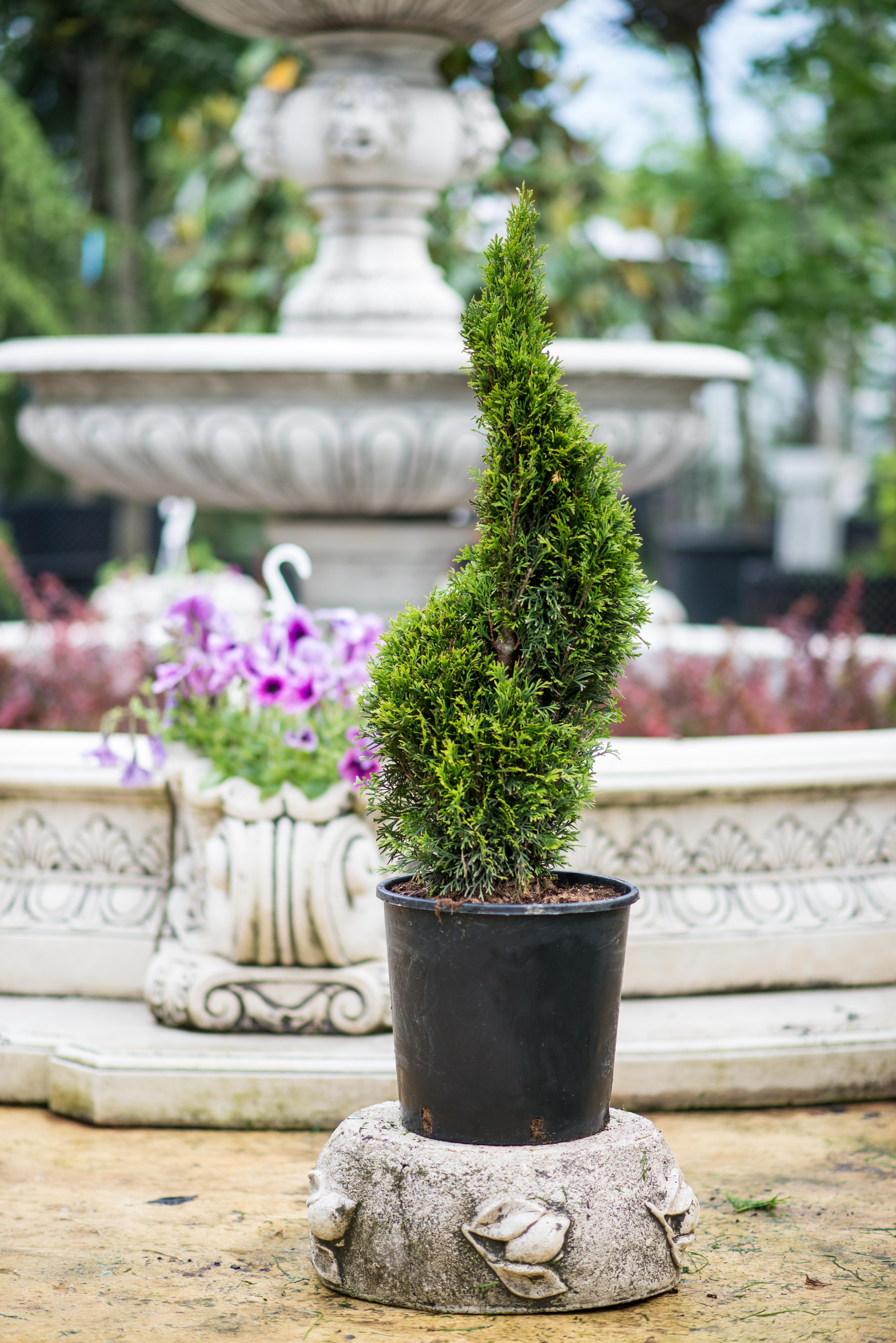 thuja occidentalis smaragd spirala oltenia garden. Black Bedroom Furniture Sets. Home Design Ideas