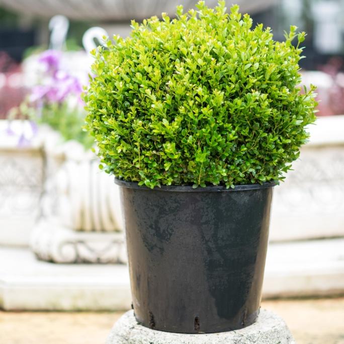 1 Buxus sempervirens Glob, Pret 95 lei
